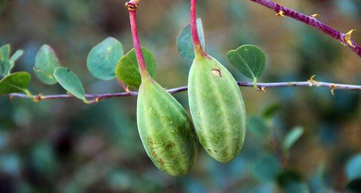 E Vitamini Deposu Kapari Bitkisi Nedir? Kapari Meyvesinin Vücuda Faydaları Nelerdir?