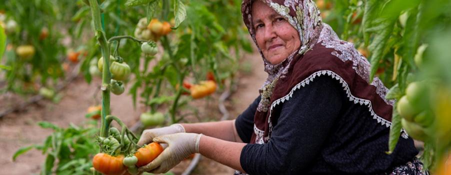 Çal'da seracılığın yıldızı: Kuzeyköy domatesi